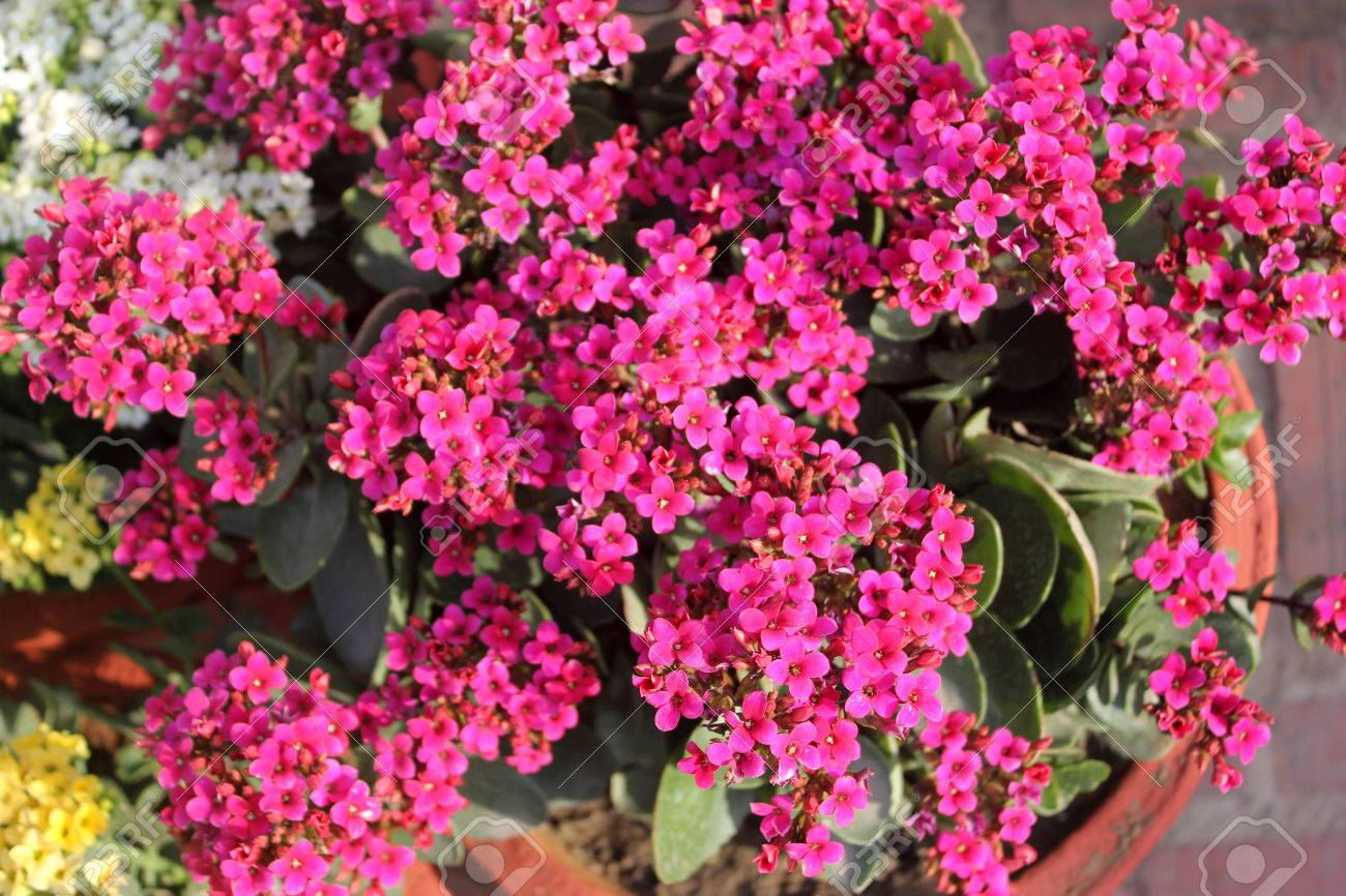 Kalanchoe blossfeldiana pink ornamental potted plant with succulent kalanchoe blossfeldiana pink ornamental potted plant with succulent opposite leaves and small pink flowers in mightylinksfo