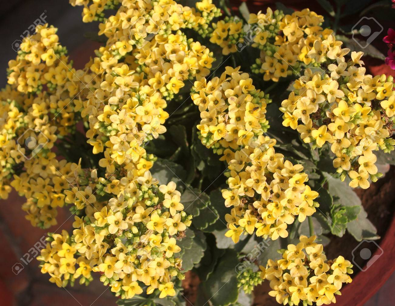 Kalanchoe Blossfeldiana Yellow Ornamental Potted Plant With Stock