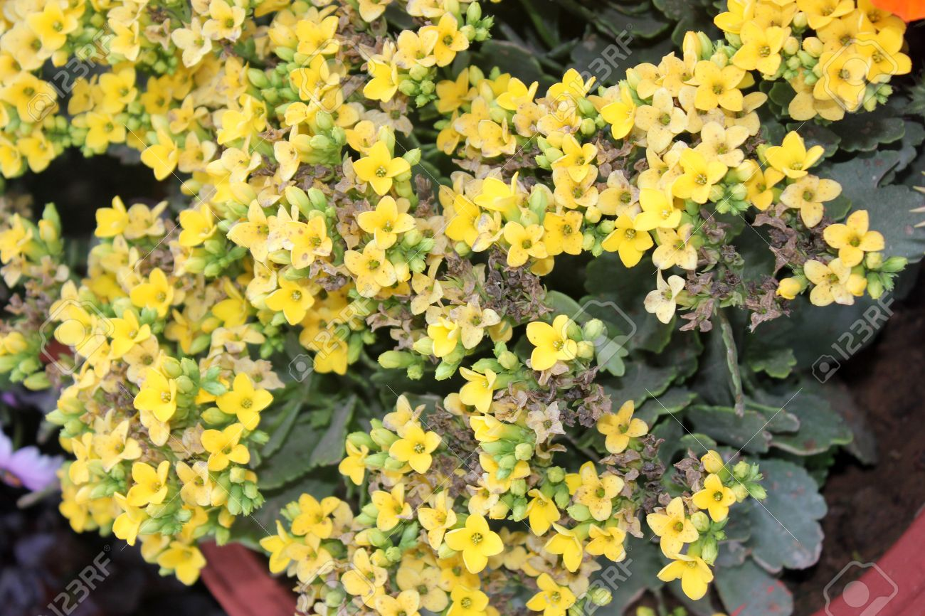 Kalanchoe Blossfeldiana Yellow Ornamental Potted Plant With Stock