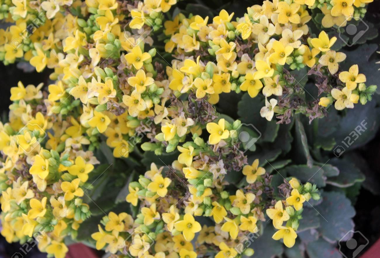Kalanchoe Blossfeldiana Amarillo Planta En Maceta Ornamental Con