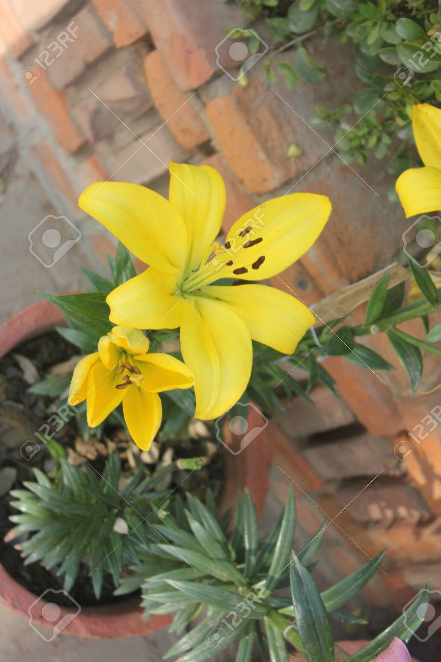 Lilium yellow lily tall bulbous perennial with linear green lilium yellow lily tall bulbous perennial with linear green leaves and large yellow flowers mightylinksfo