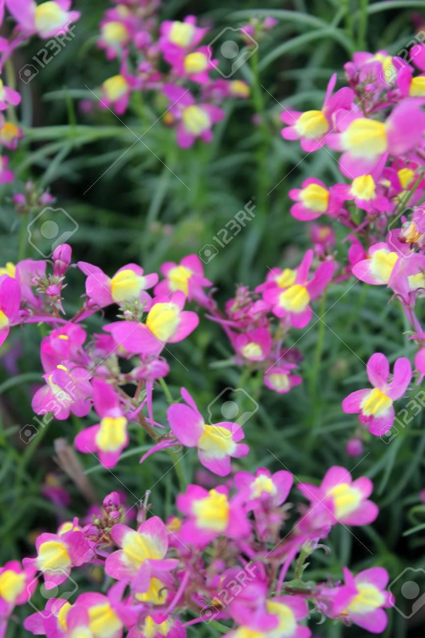 Bipartita Linaria, Hierba Anual Jardín Con Hojas Lineares En Flores ...