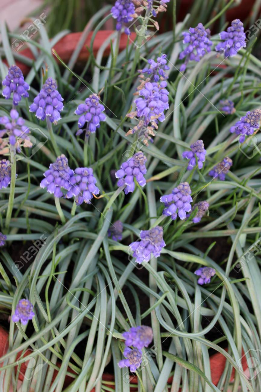 Muscari Botryoides Small Grape Hyacinth Bulbous Perennial With