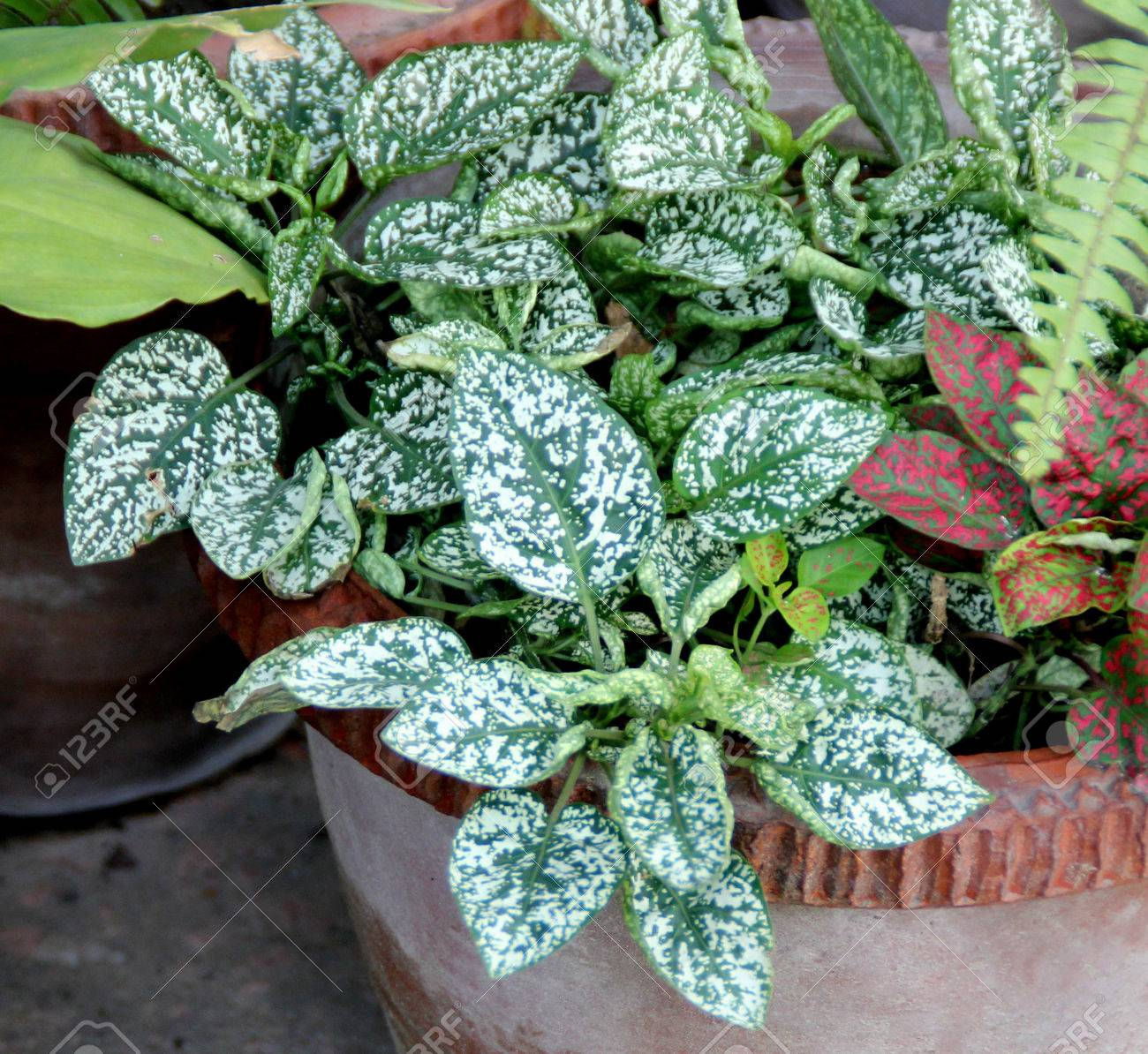 Hypoestes Phyllostachya Polka Dot Plant Ornamental Herbaceous
