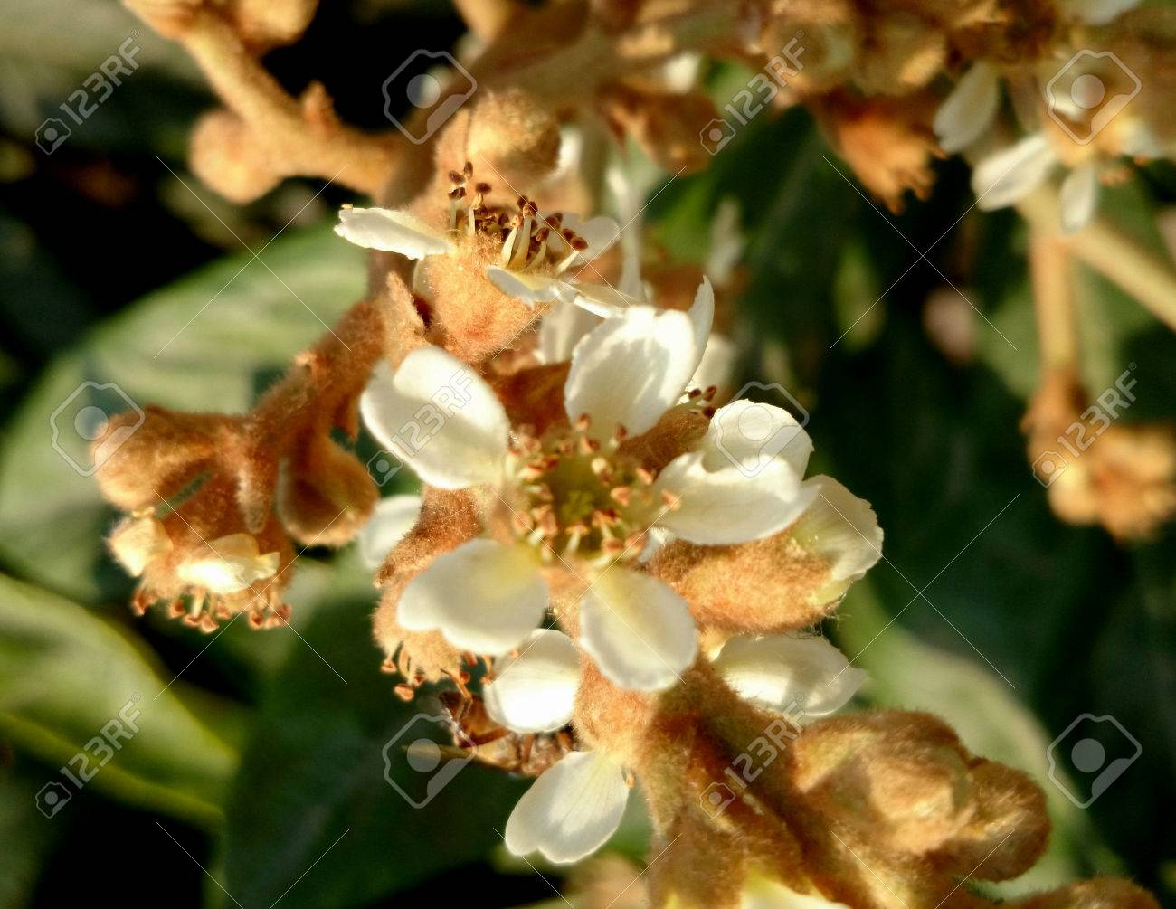 Eriobotrya Japonica Loquat Small Evergreen Tree With Leathery