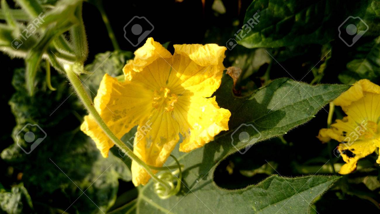 Luffa Aegyptiaca Sponge Gourd Also Known A L Cylindrical Stock