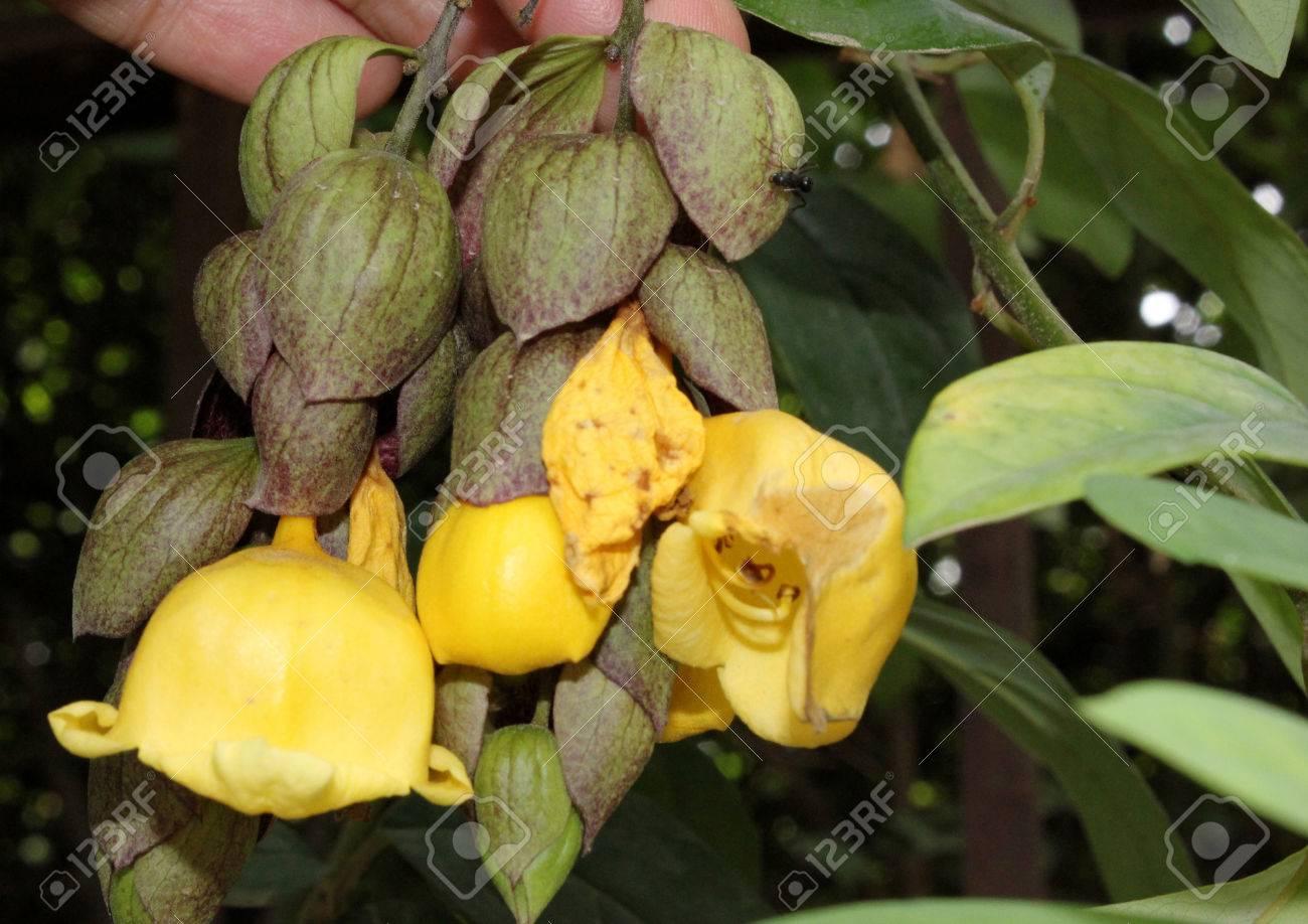 Gmellina Philippensis Le Bec De Perroquet Sarmenteux Arbuste A