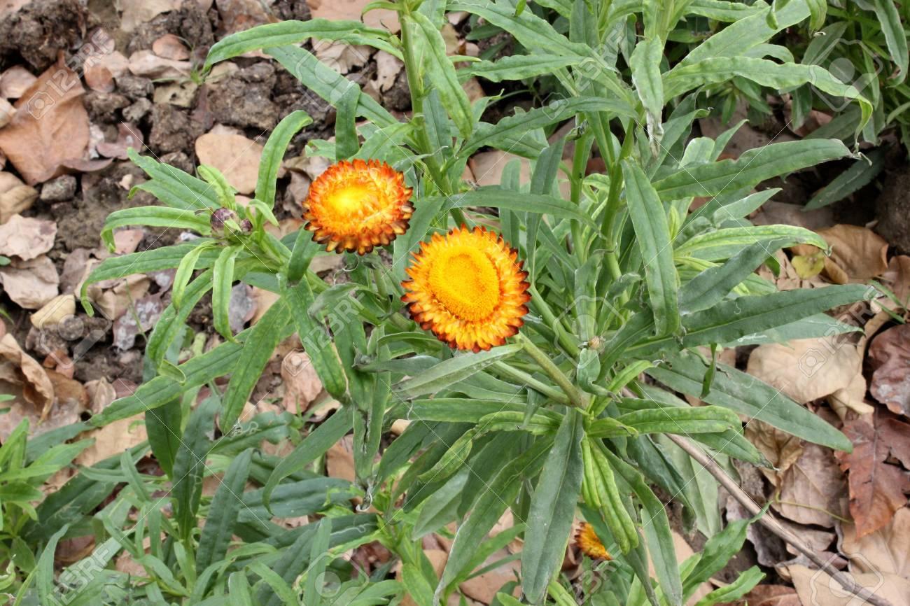 Xerochrysum Bracteatum Paper Daisy Strawflower Formerly