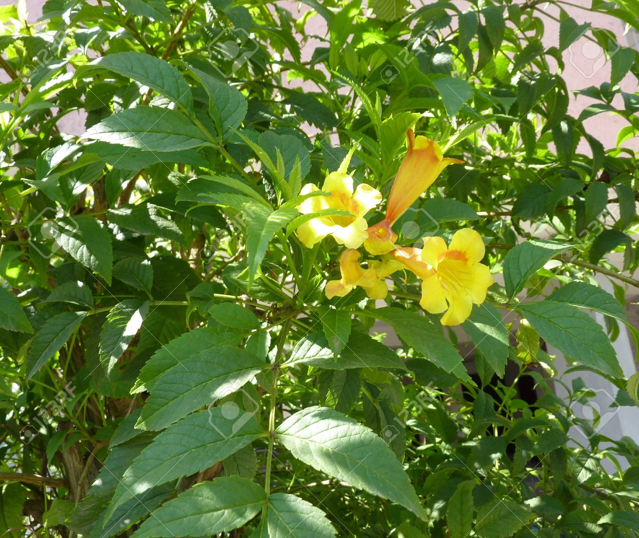 Tecoma stans yellow trumpetbush family bignoniaceae shrub stock stock photo tecoma stans yellow trumpetbush family bignoniaceae shrub with pinnate compound leaves and golden yellow flowers in clusters mightylinksfo