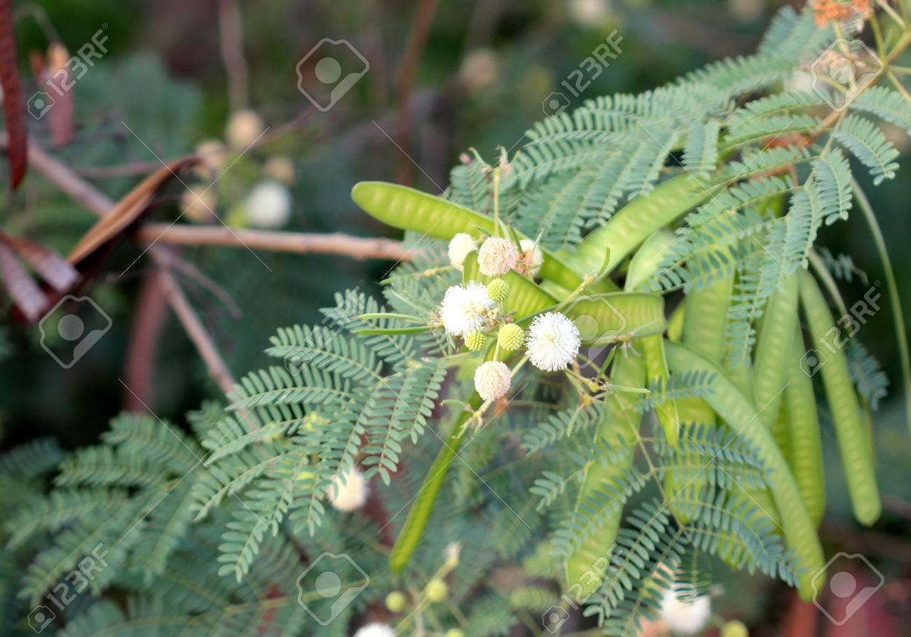 Leucaena Leucocephala White Leadtree Jumbay River Tamarind