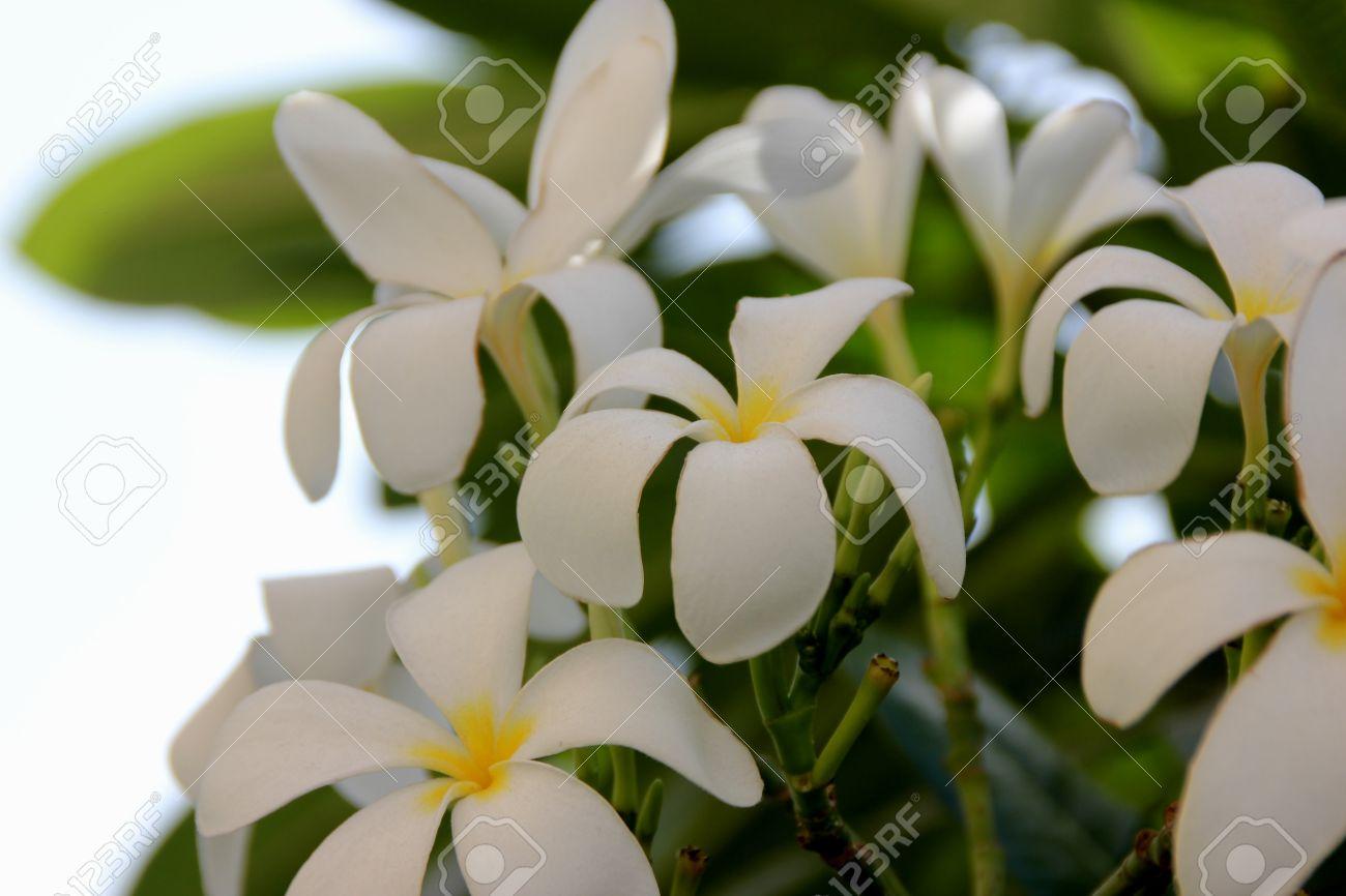 Plumeria obtusa singapore graveyard flower evergreen small stock plumeria obtusa singapore graveyard flower evergreen small tree with thick oblanceolate leaves with rounded mightylinksfo