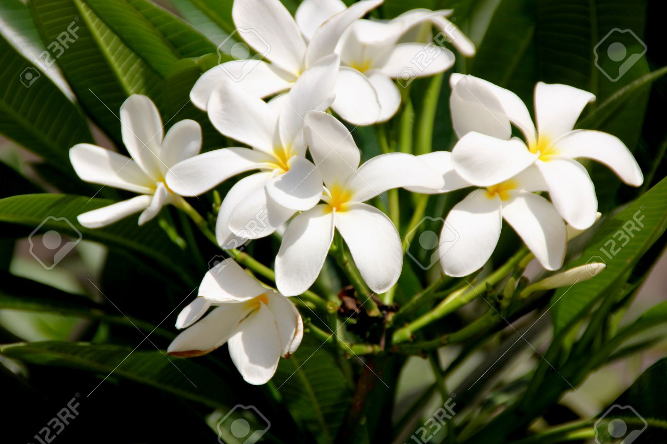 Plumeria obtusa singapore graveyard flower evergreen small stock plumeria obtusa singapore graveyard flower evergreen small tree with thick oblanceolate leaves with rounded mightylinksfo Images