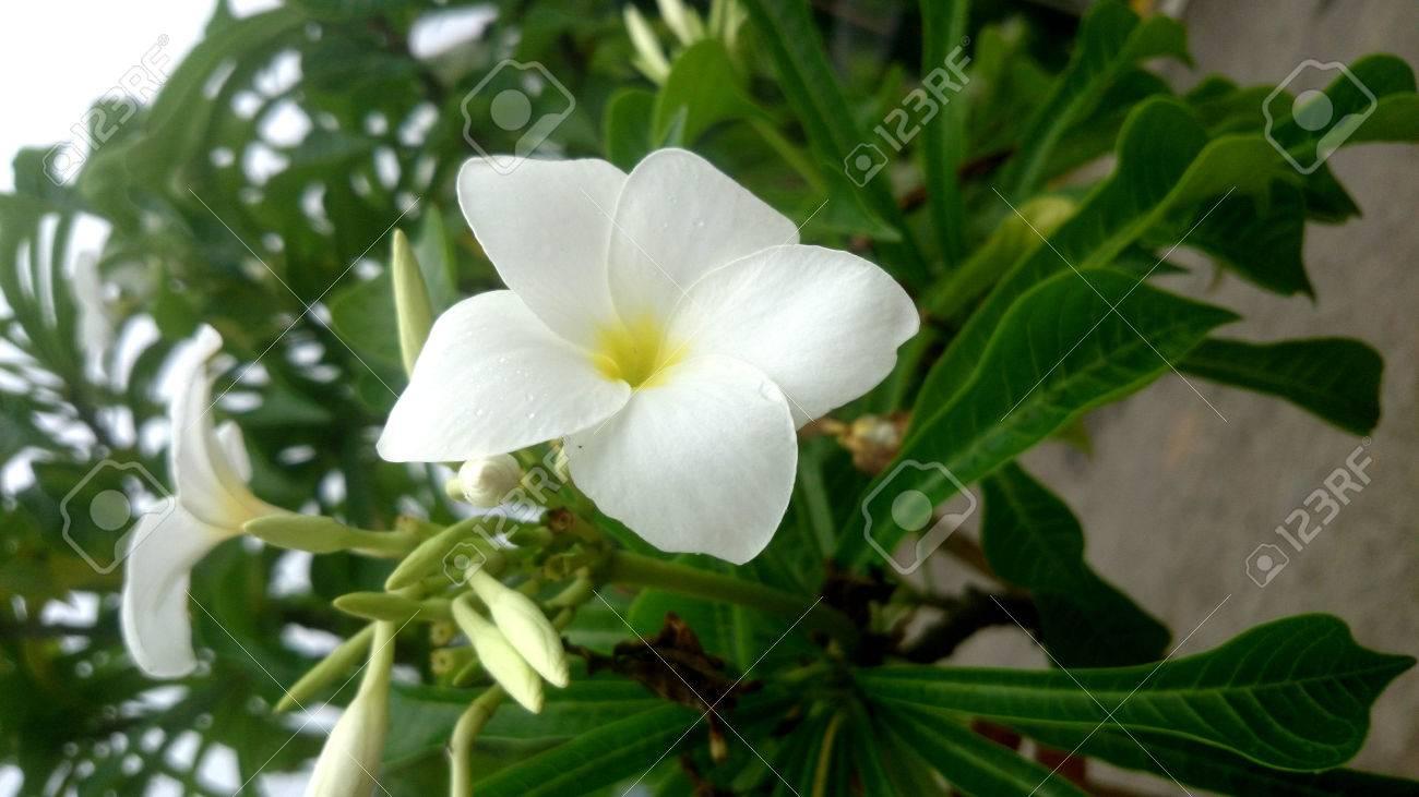 Plumeria Pudica Fiddle Leaf Plumeria Naag Champa Evergreen
