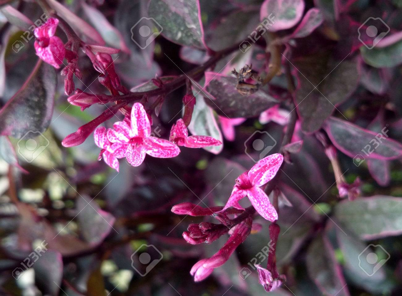 Pseuderanthemum atropurpureum purple false eranthemum family pseuderanthemum atropurpureum purple false eranthemum family acanthaceae ornamental shrub with purple leaves mottled dhlflorist Choice Image