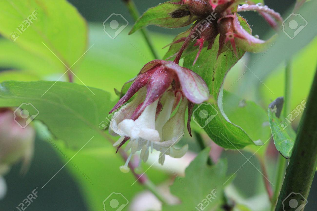 Leycesteria formosa himalayan honeysuckle vigorous deciduous leycesteria formosa himalayan honeysuckle vigorous deciduous shrub with oval green pointed leaves and white mightylinksfo