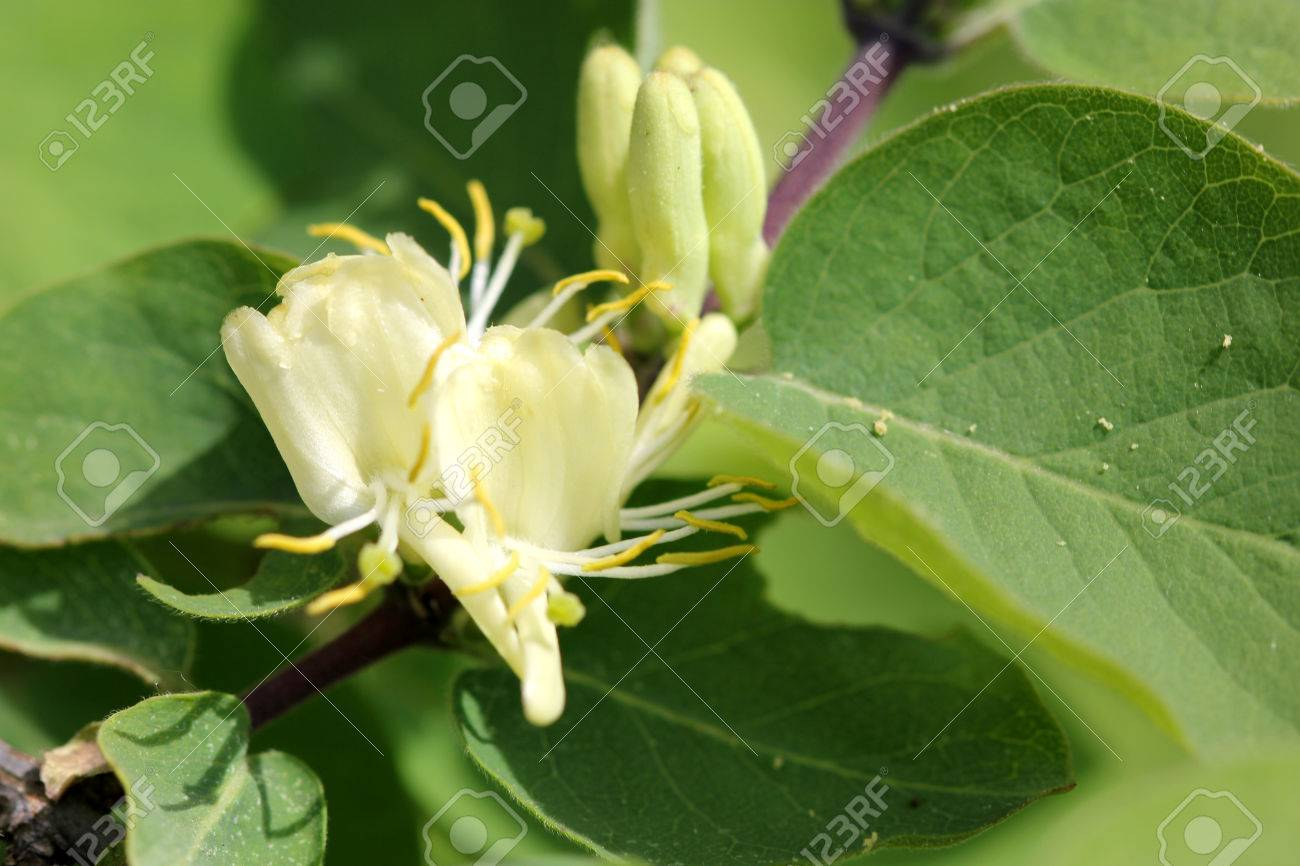 Lonicera quinquelocularis, Translucent honeysuckle, large hairy shrub or  small tree with ovate to broadly lanceolate leaves up to 7 cm long leaves,  ...