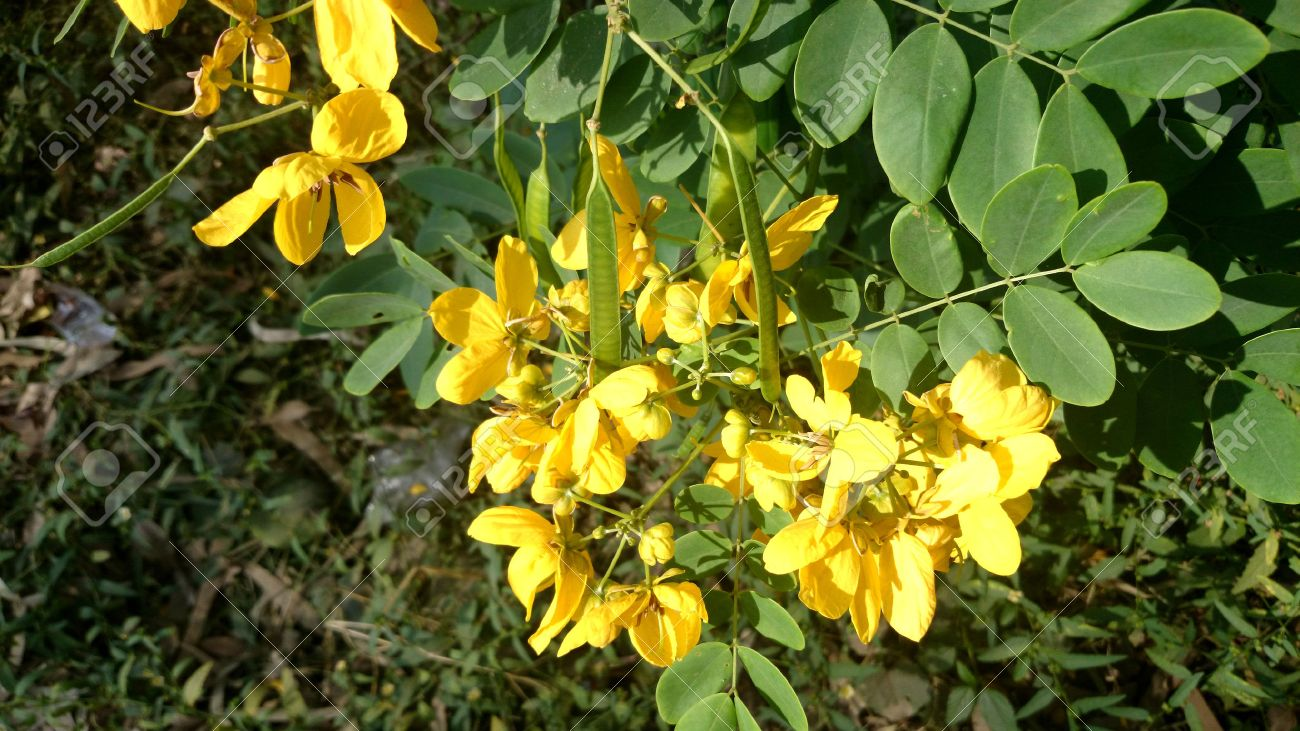 Senna sulfurea smooth senna shrub or small tree with pinnate senna sulfurea smooth senna shrub or small tree with pinnate compound leaves with 4 mightylinksfo