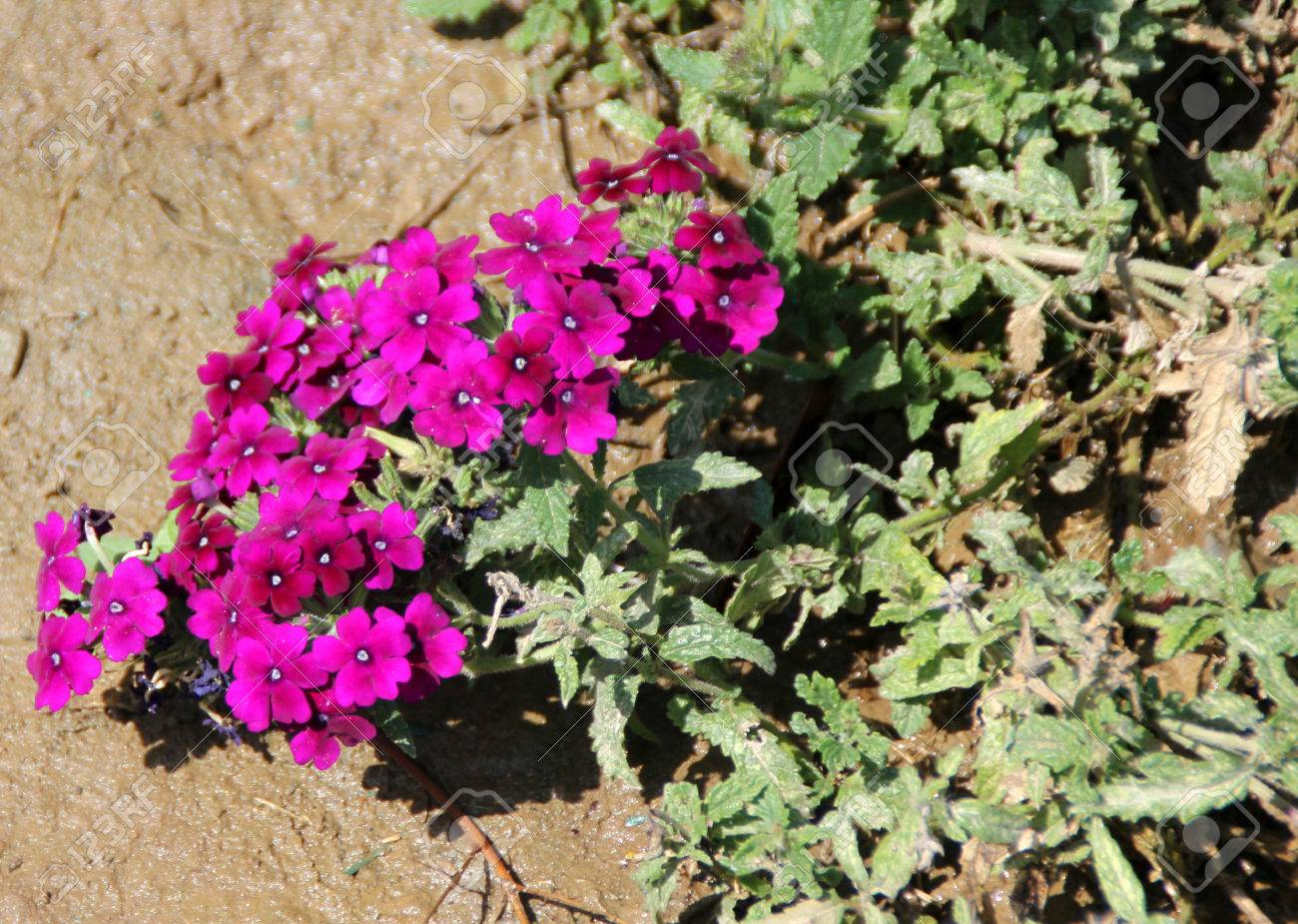 Verbena Hybrida Garden Verbena Low Growing Perennial Herb With