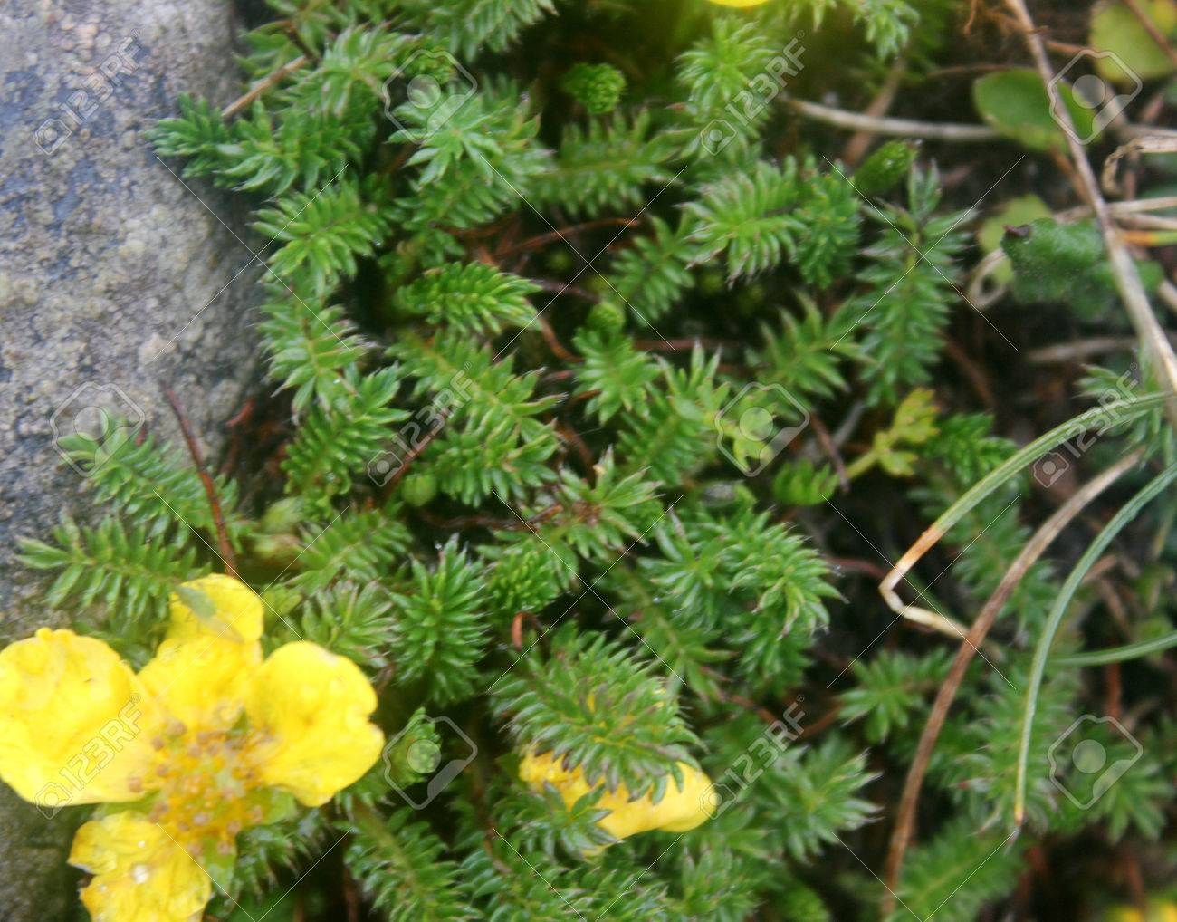 Potentilla microphylla, Tiny leaves Cinquefoil, perennial cushion forming perennial herb with pinnate compound leaves with tiny leaflets and yellow about 15 mm across flowers. - 58153470
