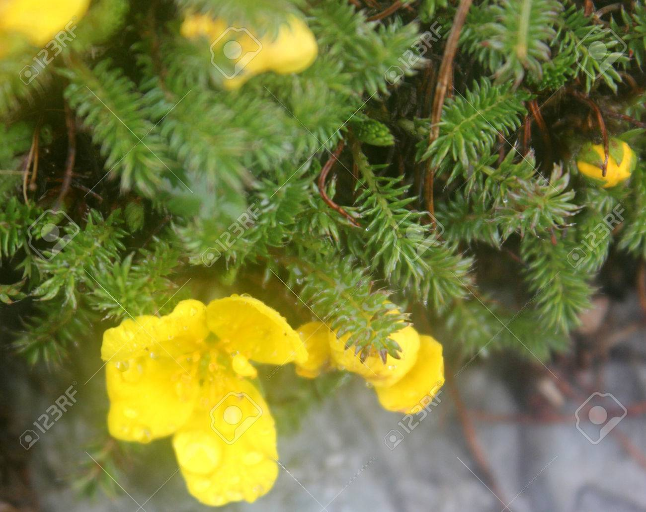 Potentilla Microphylla Tiny Leaves Cinquefoil Perennial Cushion