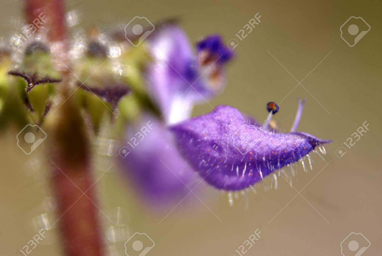 Plectranthus Barbatus Indian Coleus Also Known As Coleus