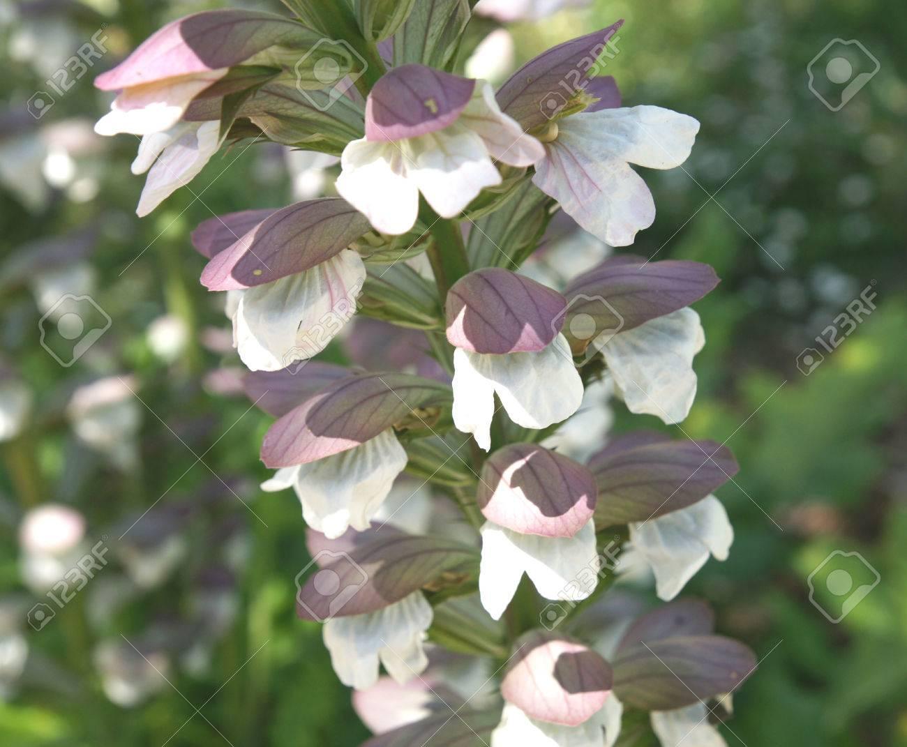 Acanthus Mollis Bears Breeches Tall Perennial Herb With Shining