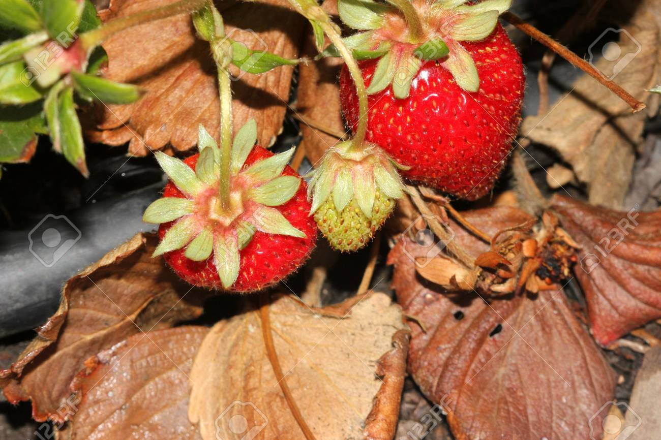 Fragaria X Ananassa Garden Strawberry Perennial Spreading By