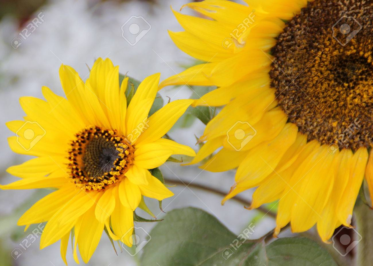 Helianthus Annuus Sunflower Cultivated Ornamental And Seed Stock