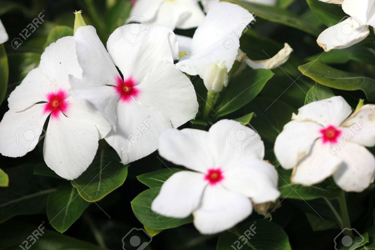 Catharanthus Roseus White White Madagascar Periwinkle Evergreen