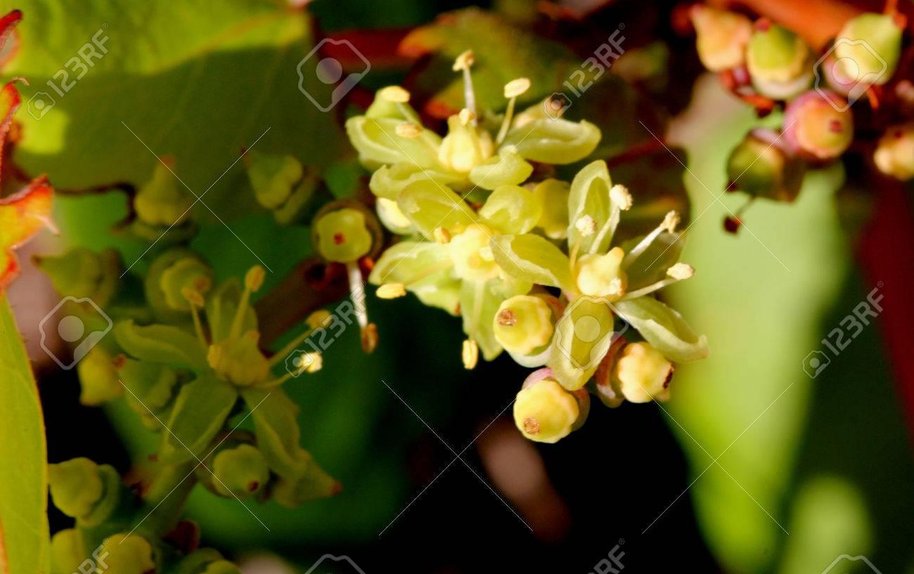 Parthenocissus Tricuspidata Japanese Creeper Grape Ivy Japanese