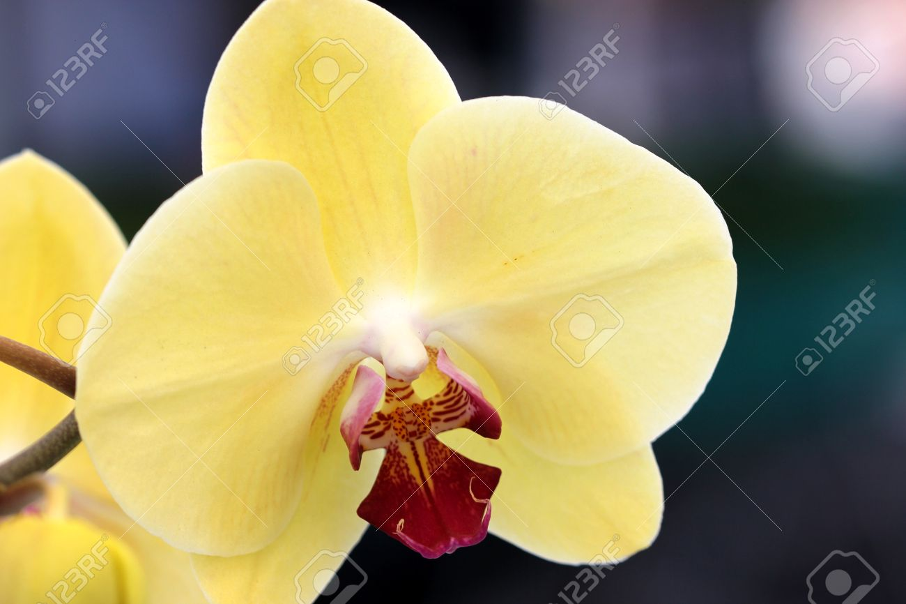 Phalaenopsis orchid yellow with red lip popular ornamental orchid phalaenopsis orchid yellow with red lip popular ornamental orchid with several yellow flowers on long mightylinksfo
