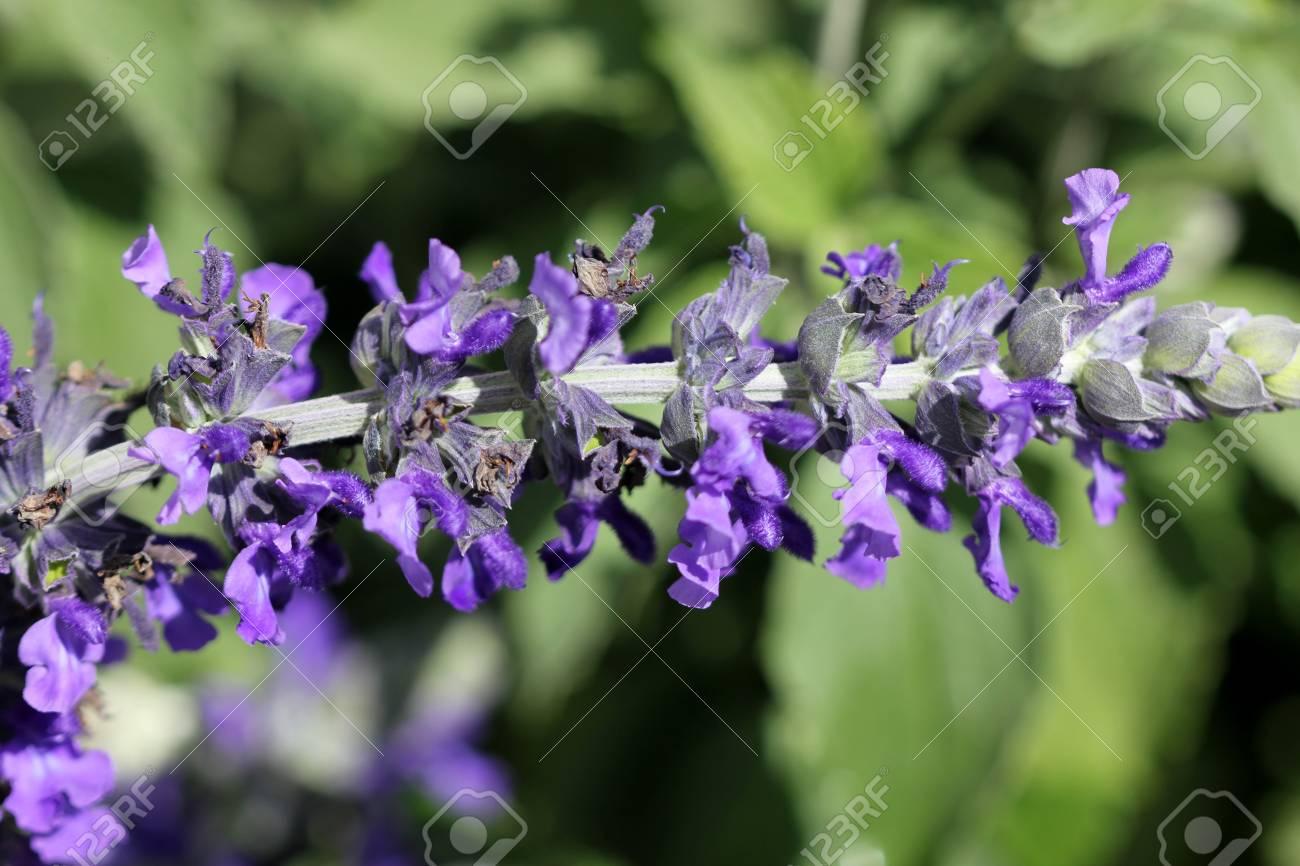 Salvia Mystic Spires Blue A Hybrid With Dark Grey Green Leaves