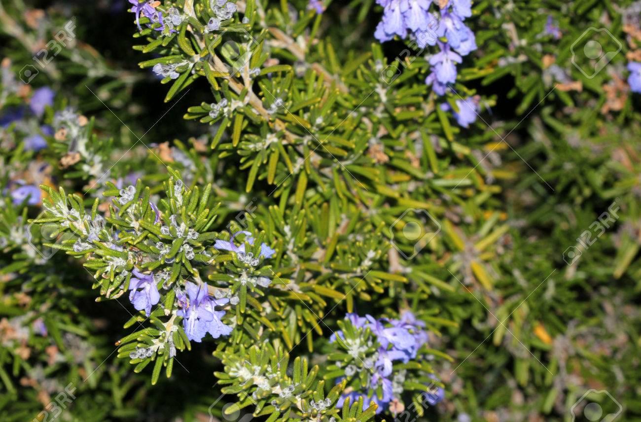 Arbuste Fleuri Feuillage Persistant rosmarinus officinalis, rosemary, petit arbuste à feuillage persistant avec  des feuilles linéaires parfumées et fleurs bleu clair, utilisé comme herbe