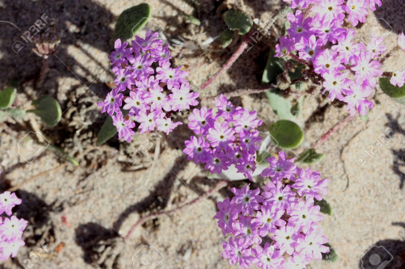 Abronia Umbellata Pink Sand Verbena Perennial Of Western Coasts