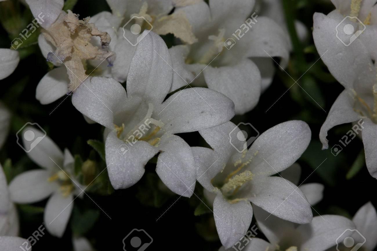 Campanula Portenschlagiana White Get Mee Dalmatian Bellflowers