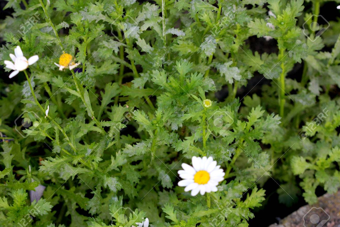 Chrysanthemum Paludosum Creeping Daisy Low Growing Perennial With
