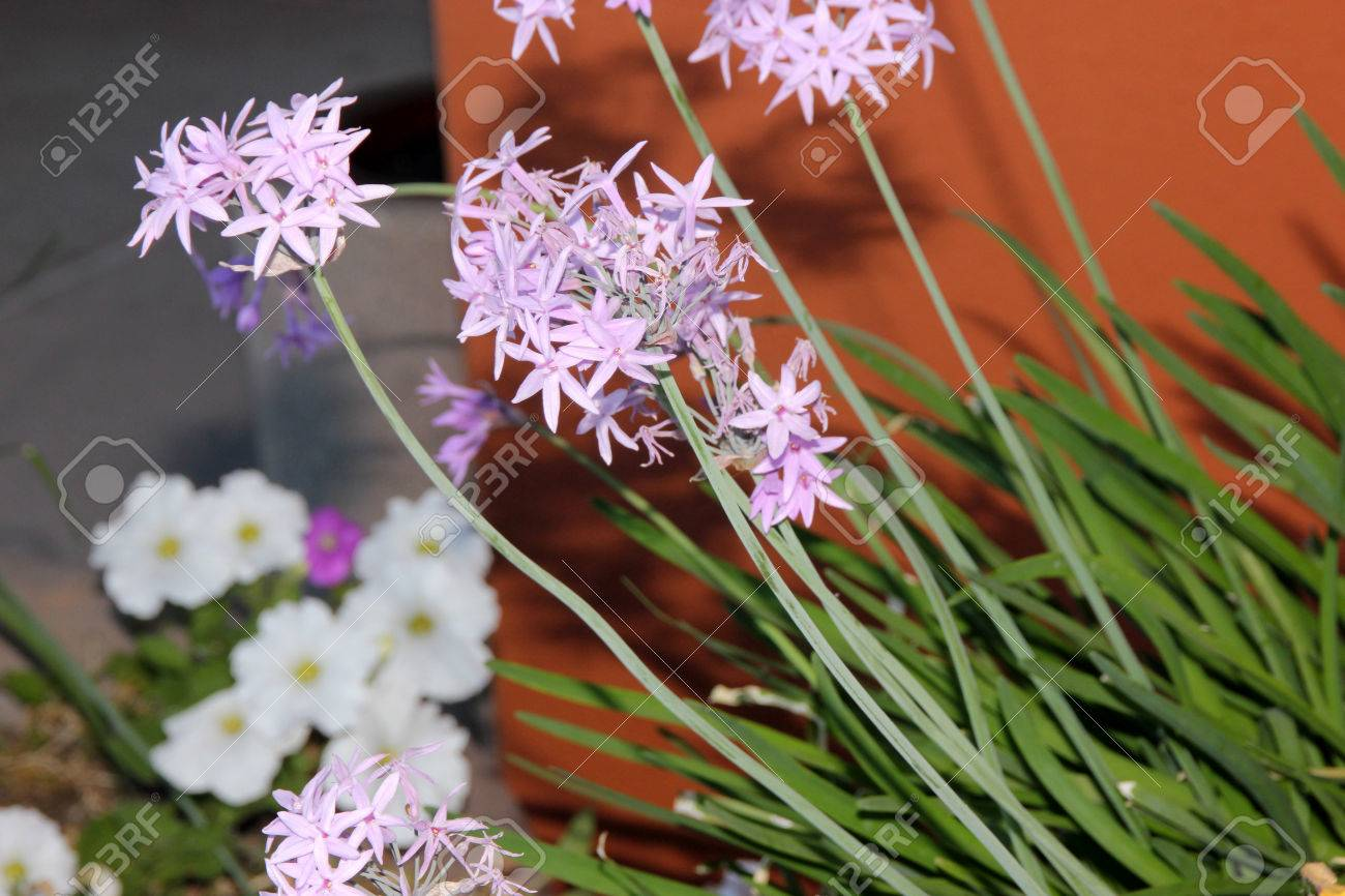 Agapanthus Foglie Gialle tulbaghia violacea, society garlic, pink agapanthus, clump-forming..