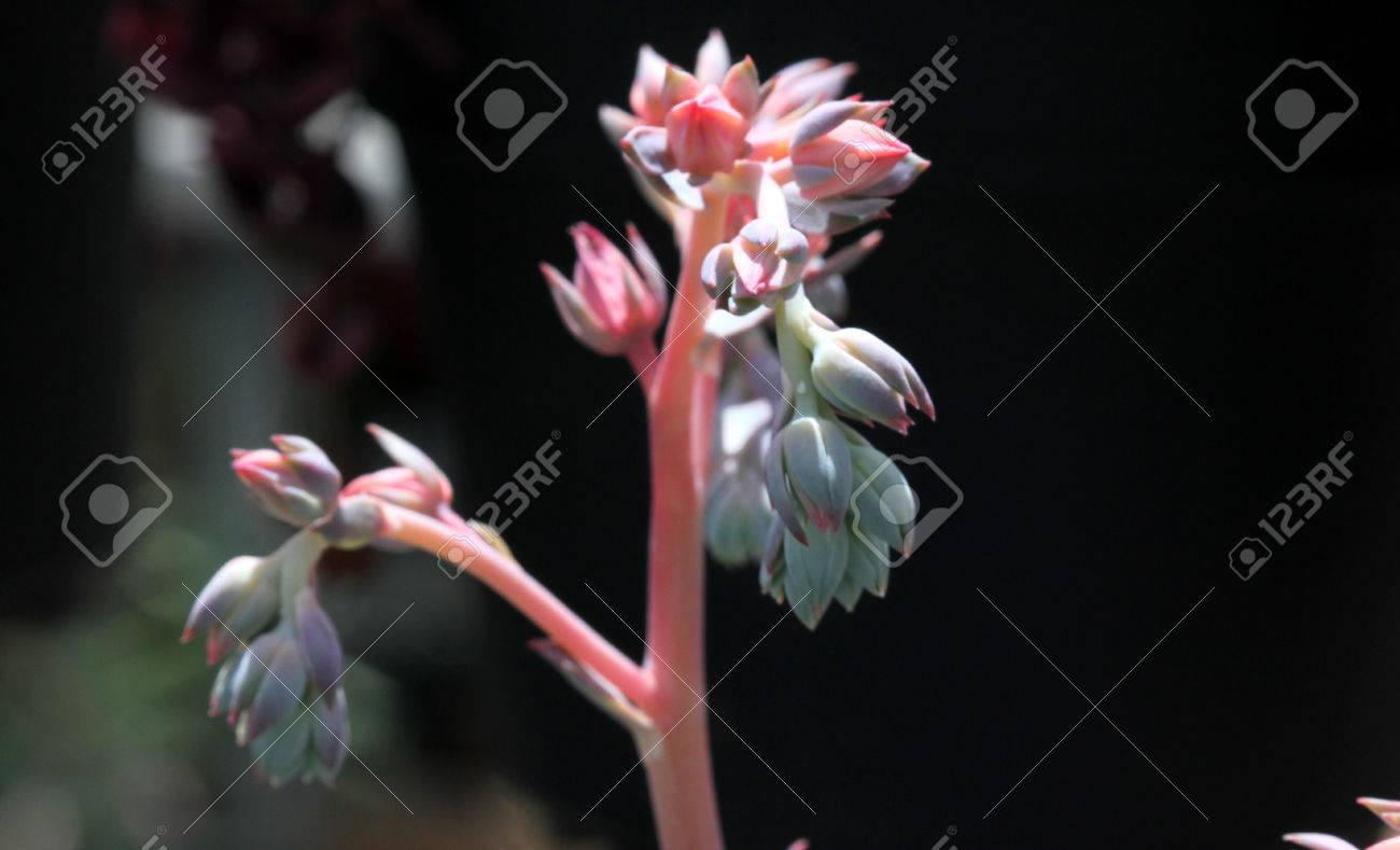 Echeveria Shaviana Pink Frills Mexican Hens And Chicks Succulent