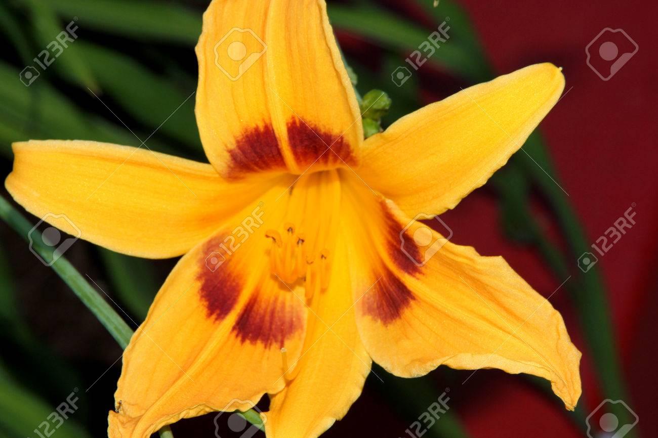Hemerocallis Bonanza Bonanza Daylily Perennial Tuft Forming