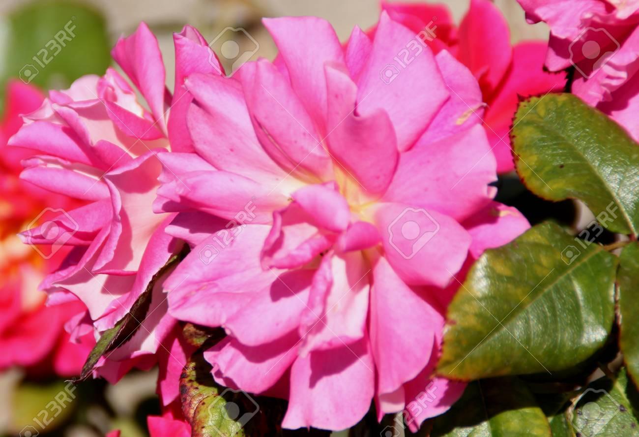 Rosa Miss Behavin Cultivar Of Floribunda Rose With Bushy Plants