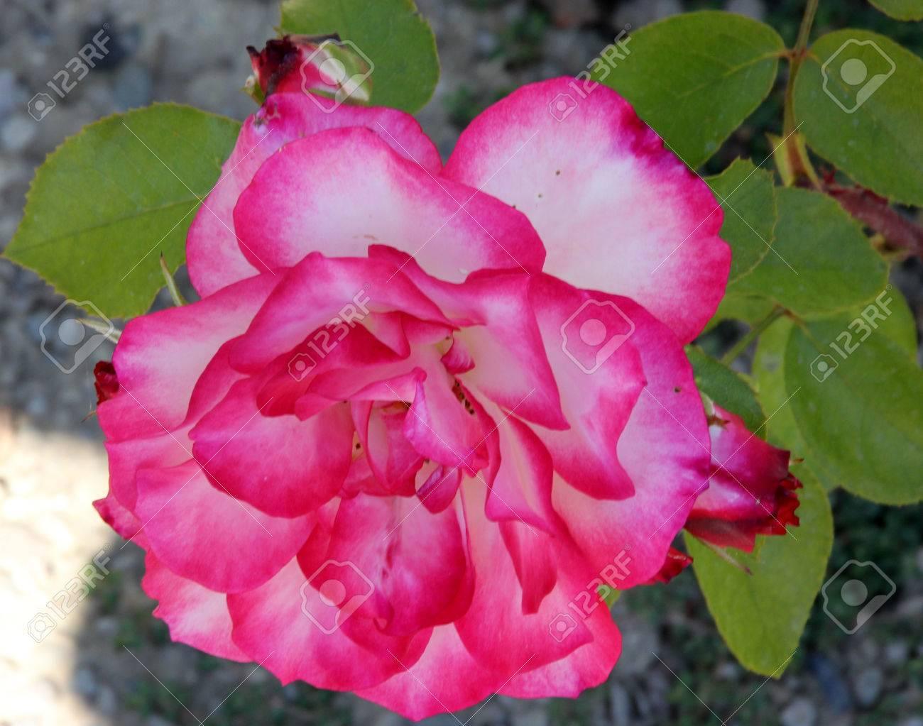 Rosa nicole hybrid floribunda rose cultivar flowers white and rosa nicole hybrid floribunda rose cultivar flowers white and pink blend with pink edges mightylinksfo