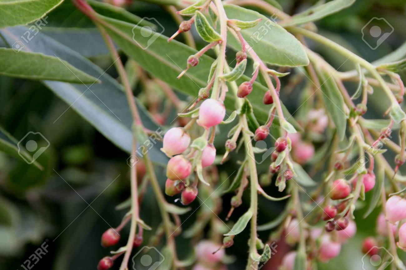 Arbutus Unedo Strawberry Tree Small Evergreen Tree With Green