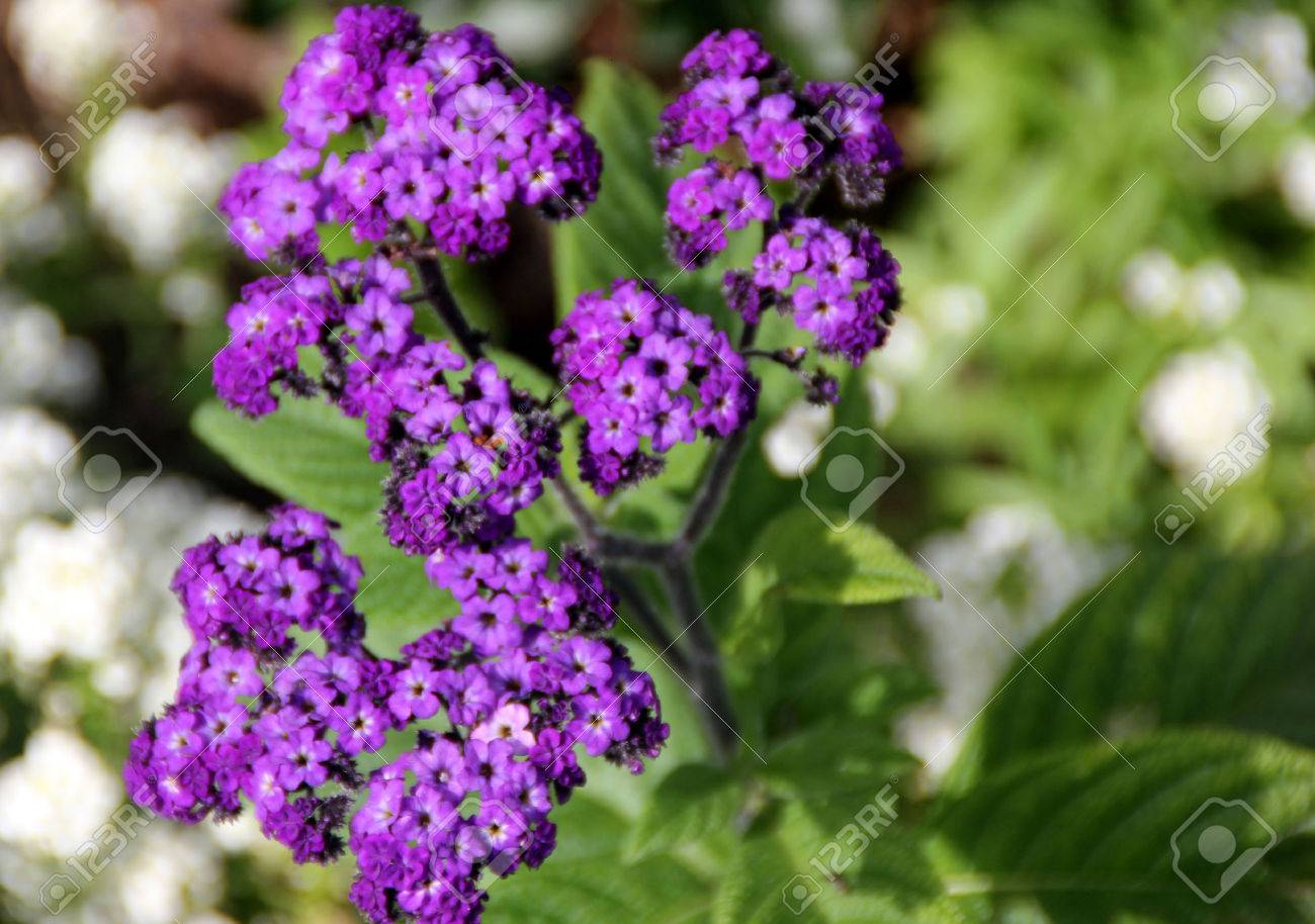 Heliotrope flower: photo with description, features of planting and care 82