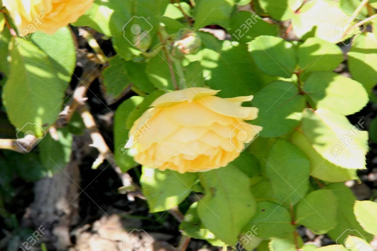 Arbusto A Fiori Gialli rosa graham thomas, inglese arbusto è aumentato con arcuati steli e ricchi  di fiori gialli doppi profumati, ideale per bordure miste.