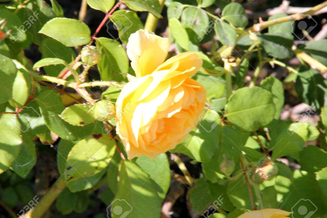 Rosa graham thomas english shrub rose with arching stems and rosa graham thomas english shrub rose with arching stems and fragrant double rich yellow flowers thecheapjerseys Images