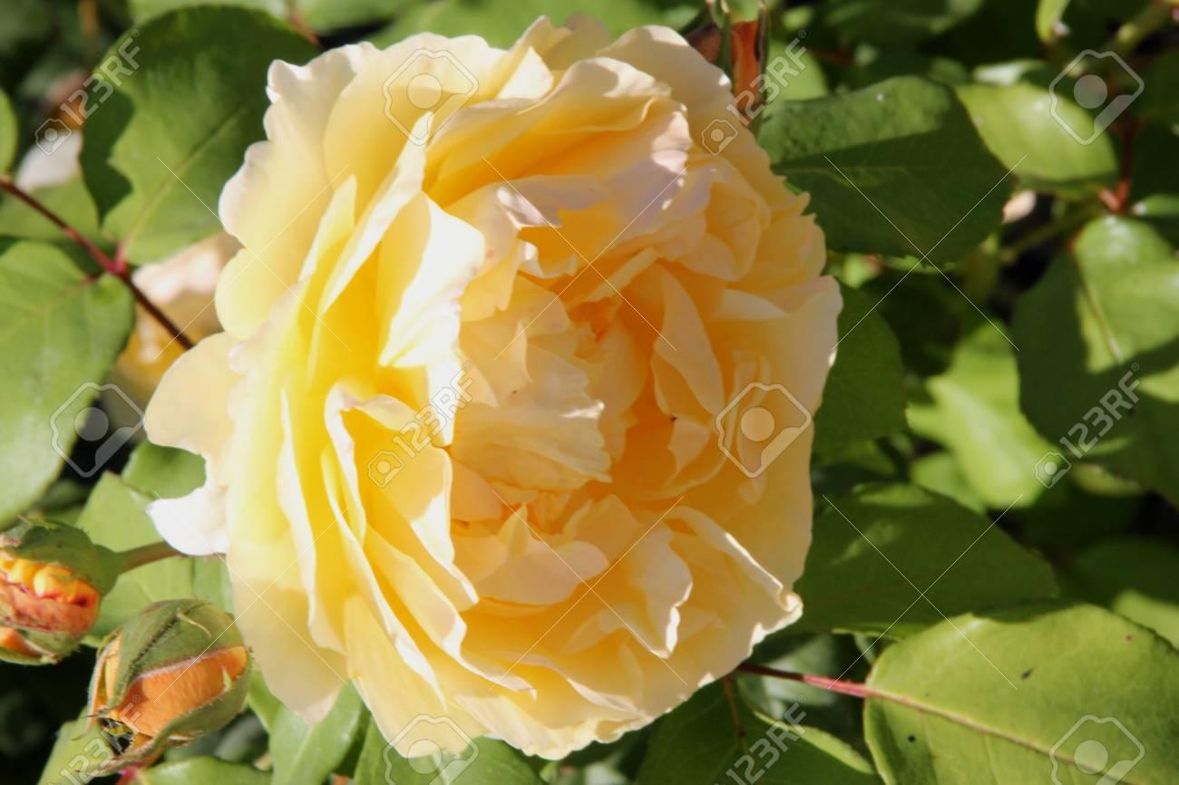 Rosa graham thomas english shrub rose with arching stems and rosa graham thomas english shrub rose with arching stems and fragrant double rich yellow flowers altavistaventures Choice Image