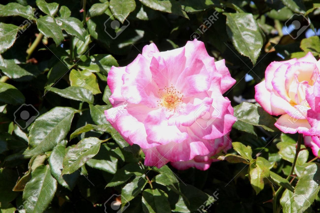Rosa handel nearly thornless climbing rose with bronze tinted rosa handel nearly thornless climbing rose with bronze tinted leaves and clusters of creamy white mightylinksfo