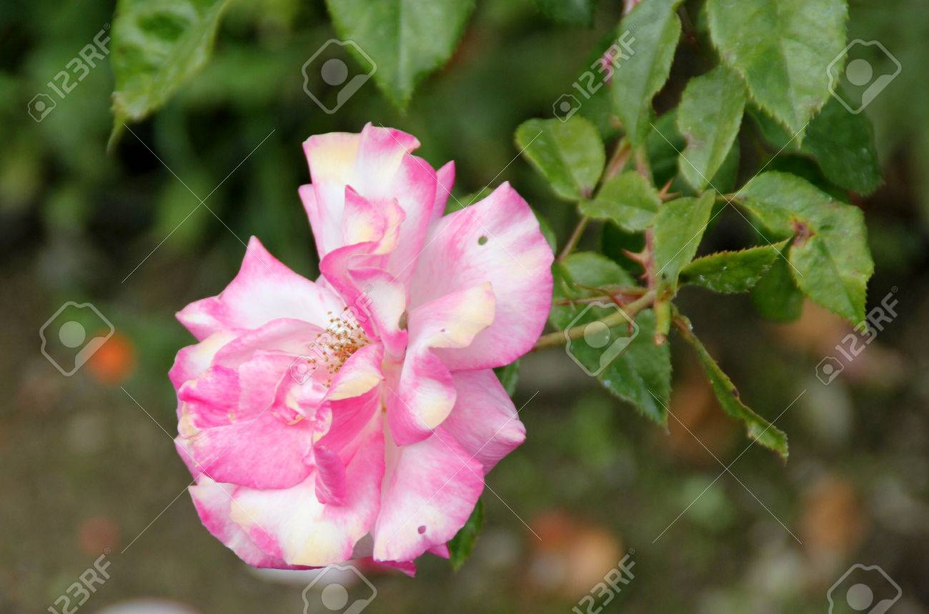 Rosa Handel Nearly Thornless Climbing Rose With Bronze Tinted