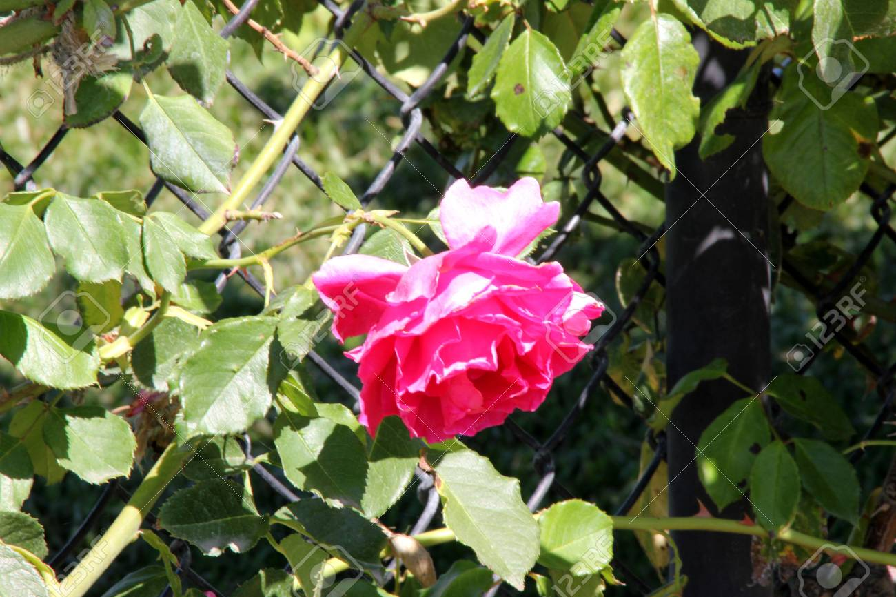 Rosa High Society Climbing Rose With Glossy Foliage And Large