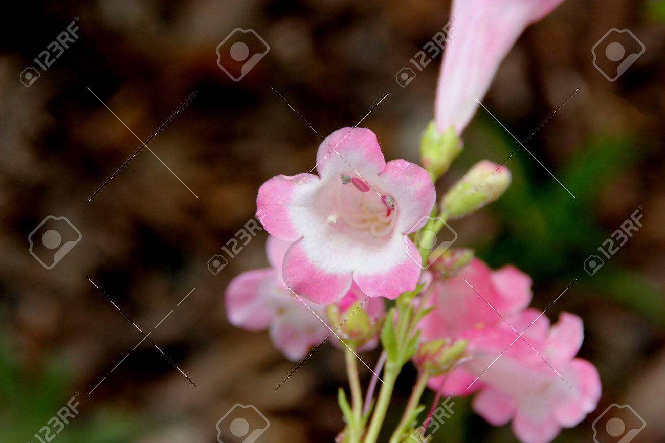 Penstemon Apple Blossom Clump Forming Perennial Herb With Linear